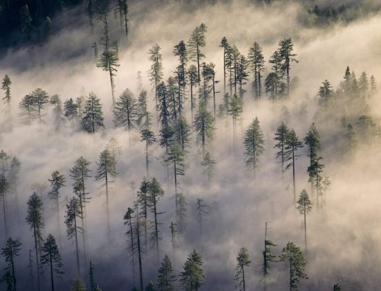 Redwood trees from overhead in fog
